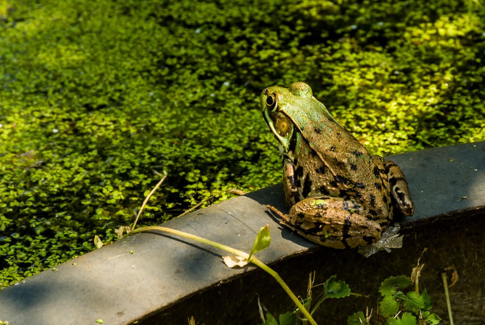 kiss-frog-2014