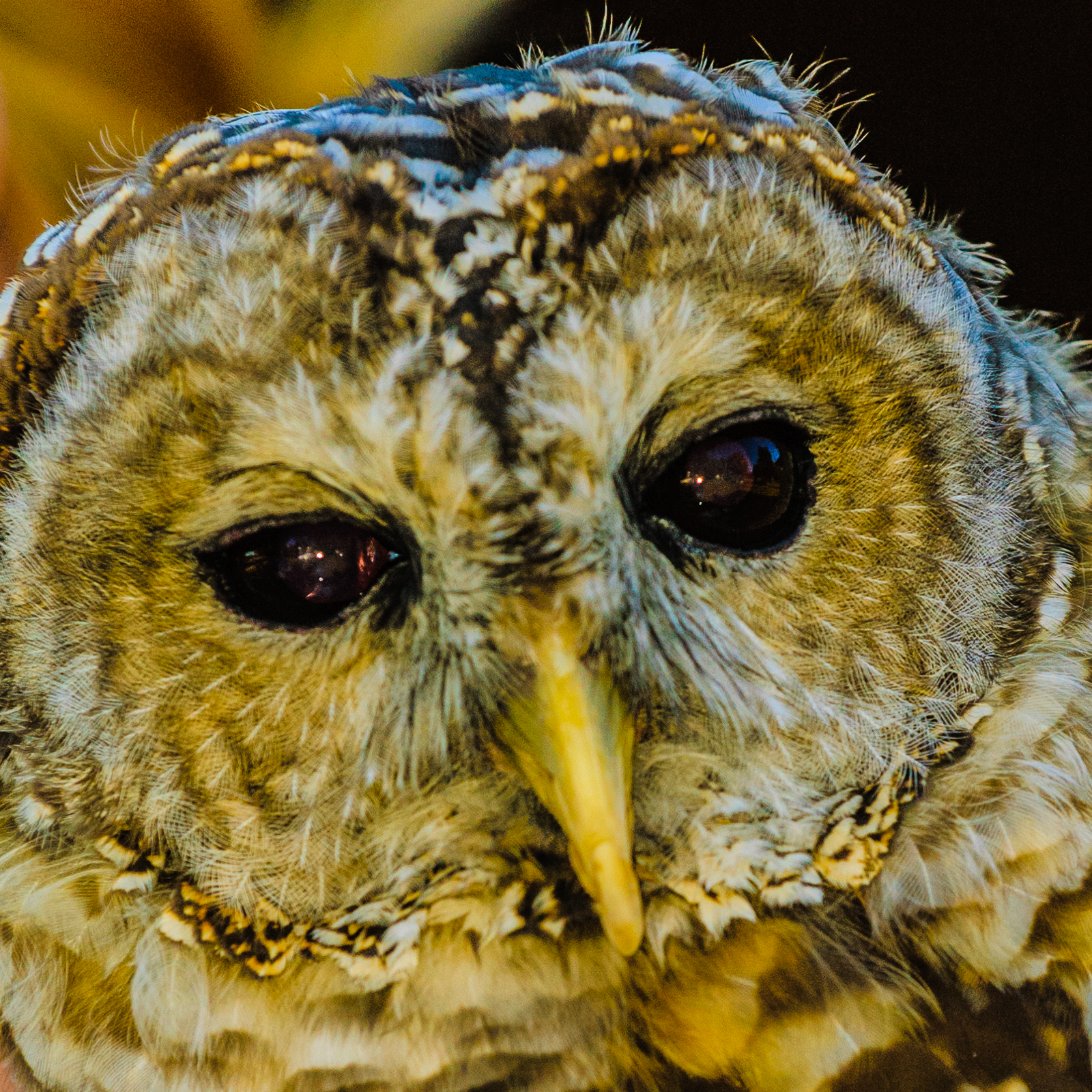 wise-owl-0367