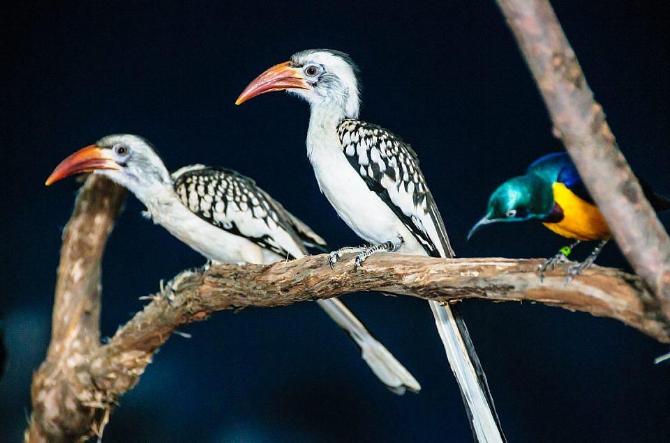 red-billed hornbill-0110