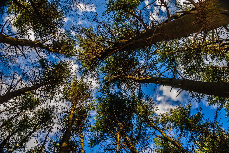 trees-pine-rancocas