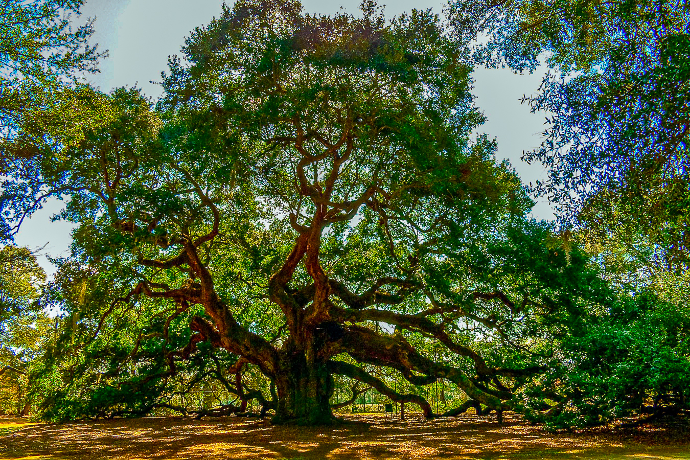 photography of angel-oak-tree-2004