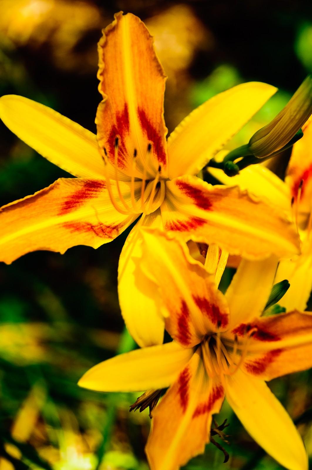 daylilies-0788