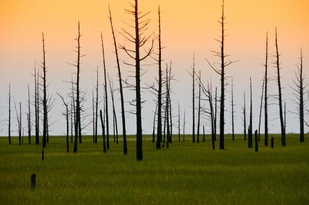 dead_cedar_trees