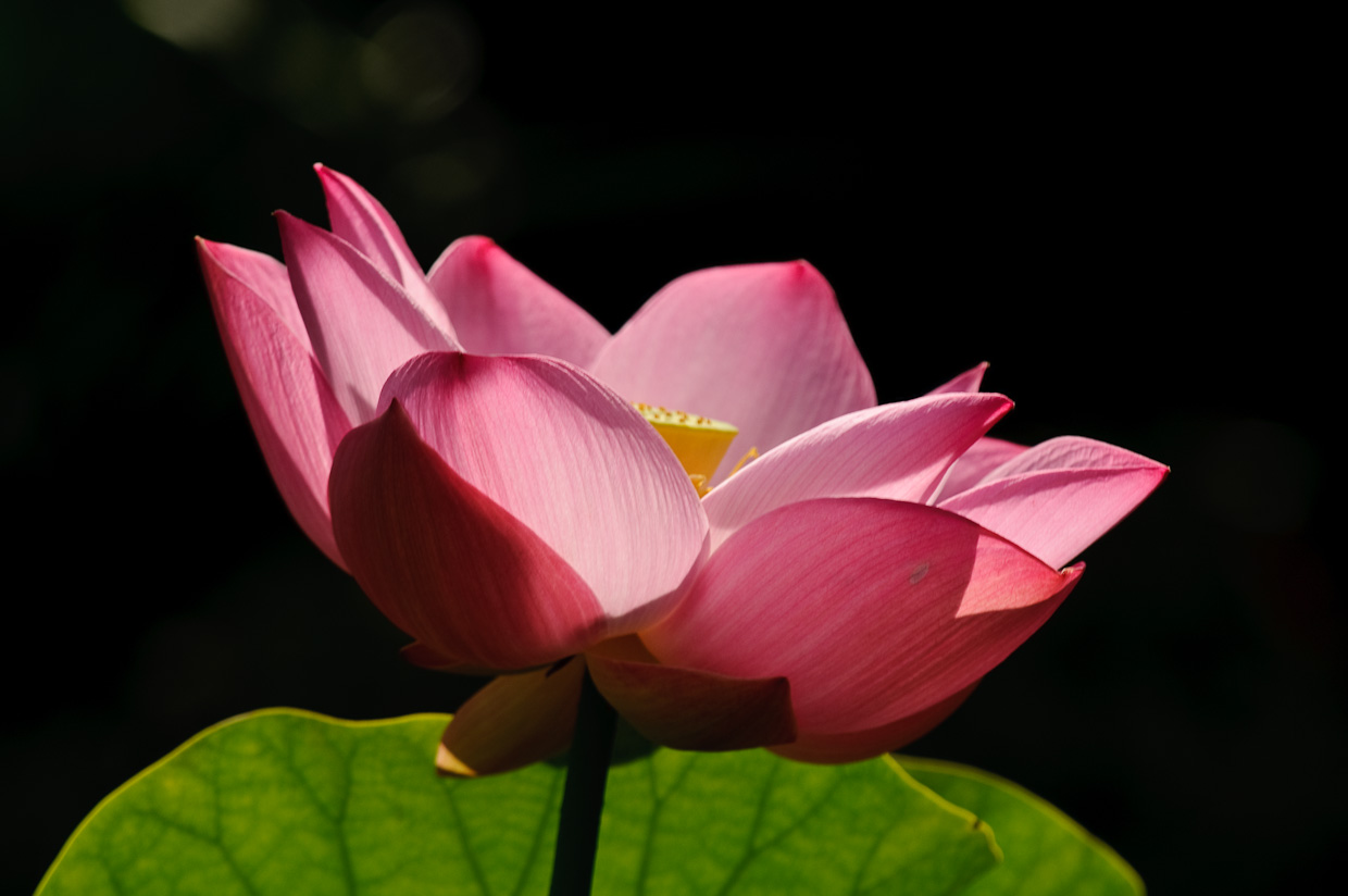 Pink Naked Lotus Blossom