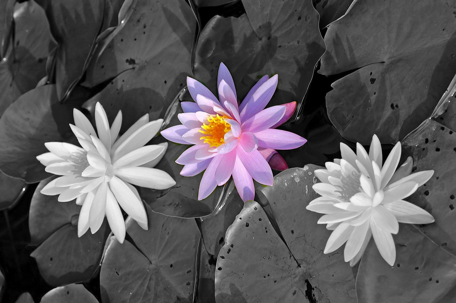 water-lily-0049