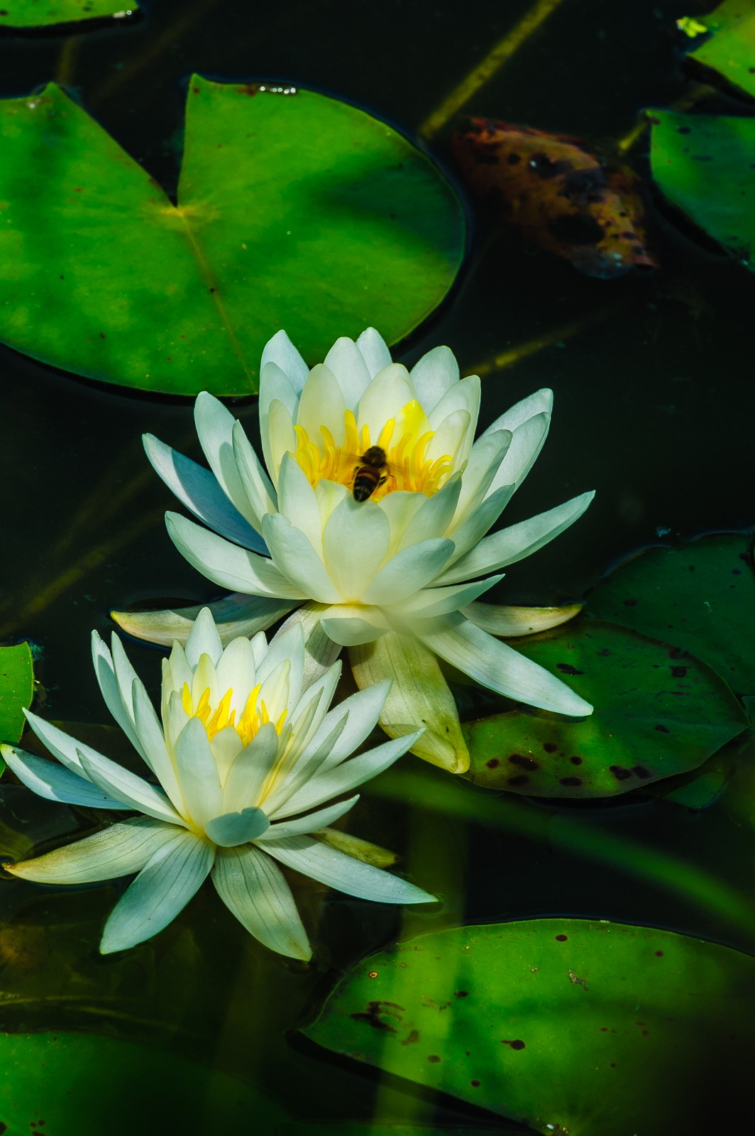 water-lily-0680