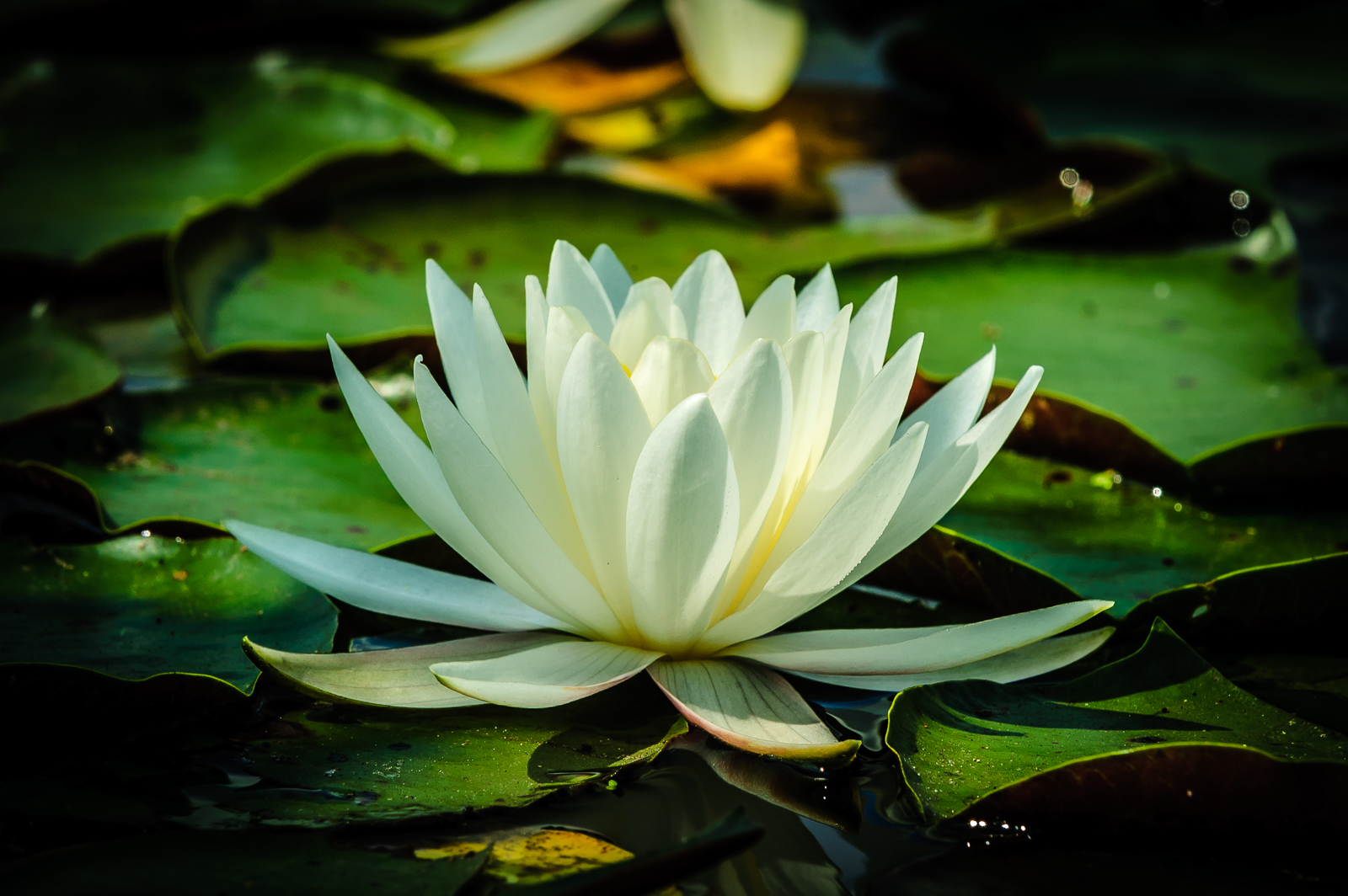 Lone water-lily photo