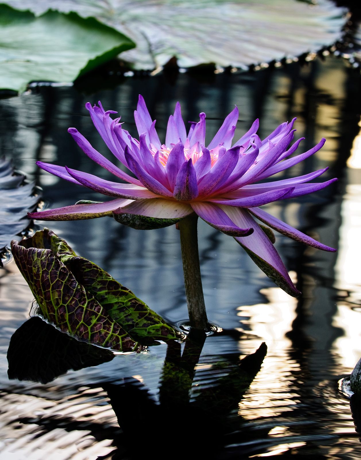 purple-water-lily-509
