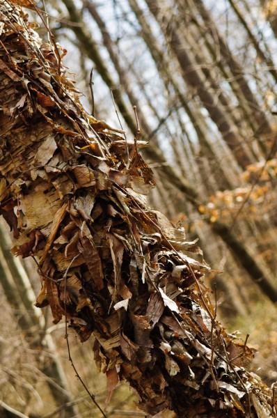 Paper Birch Tree Bark