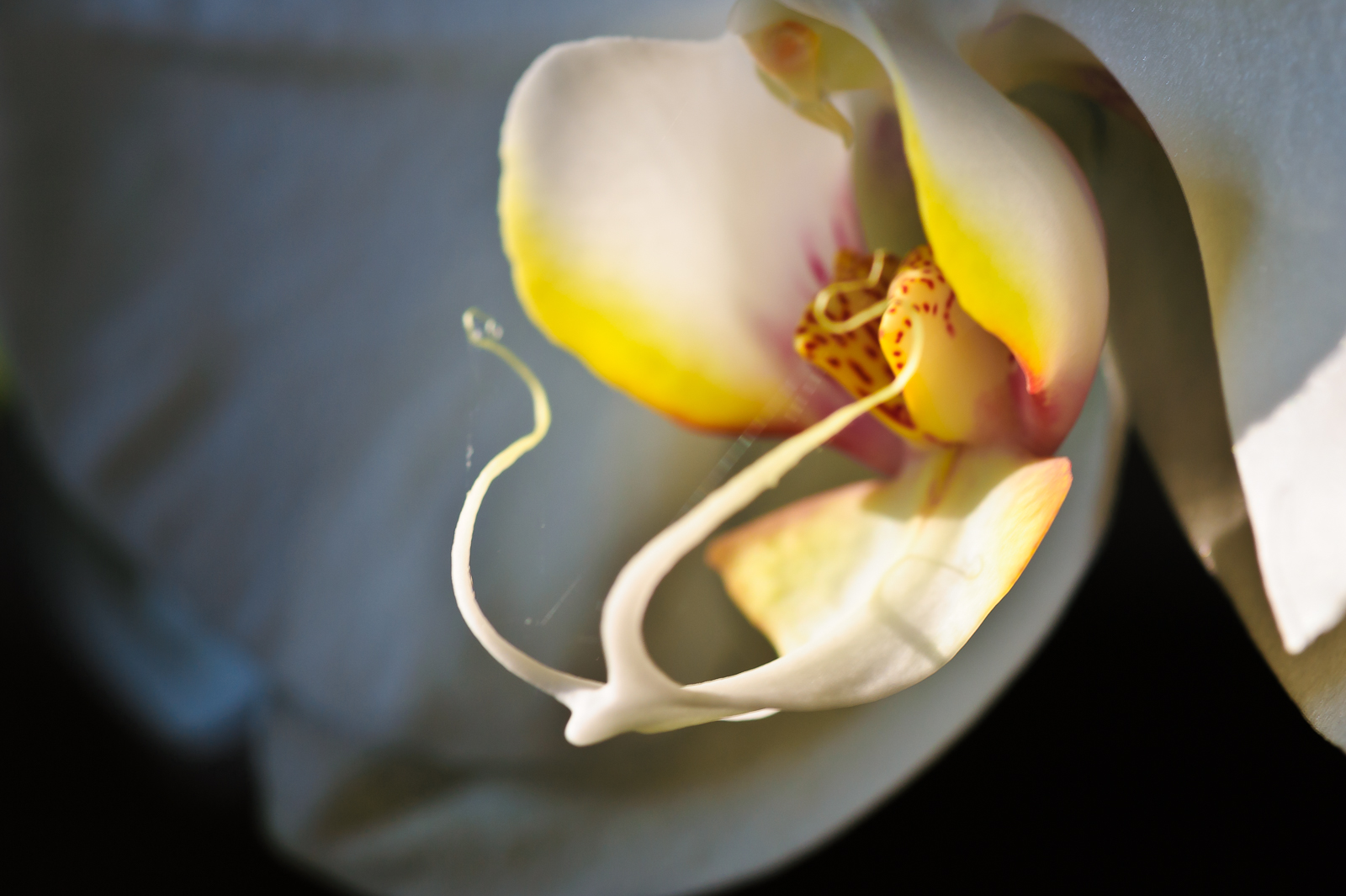 orchid-0091