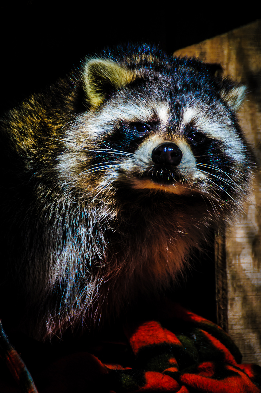 racoon-ltd6209