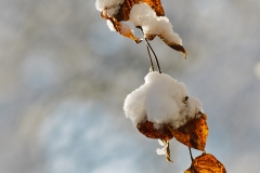 winter-snow-leaves