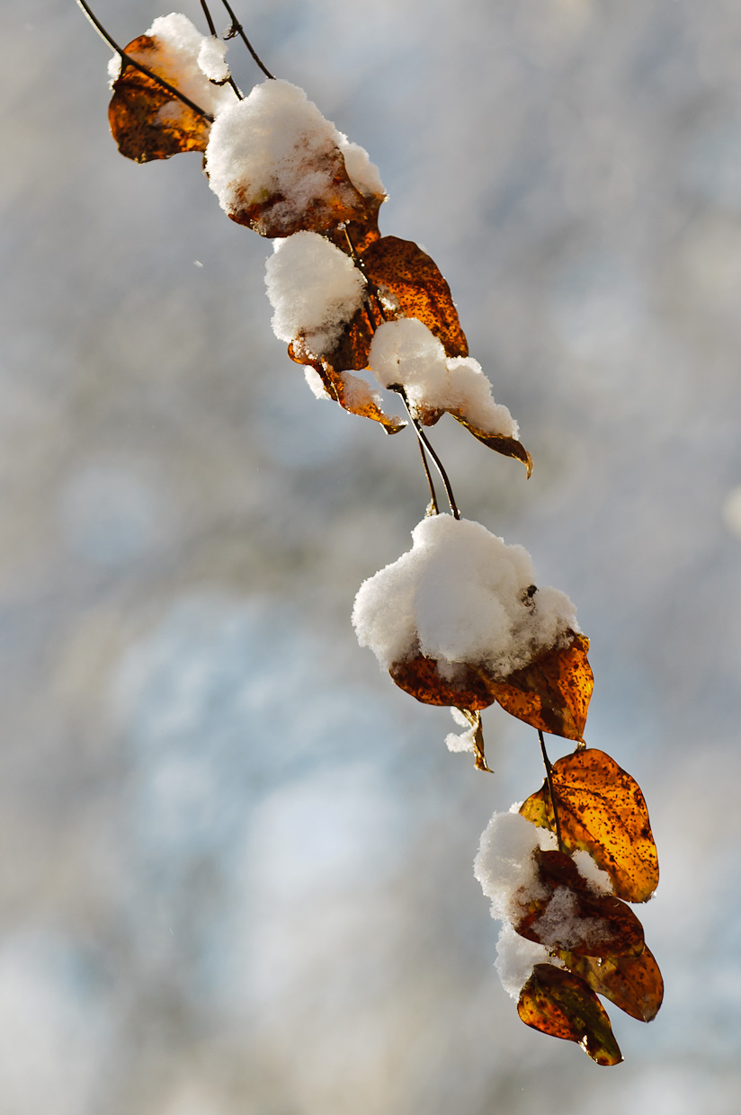 winter-snow-leaves