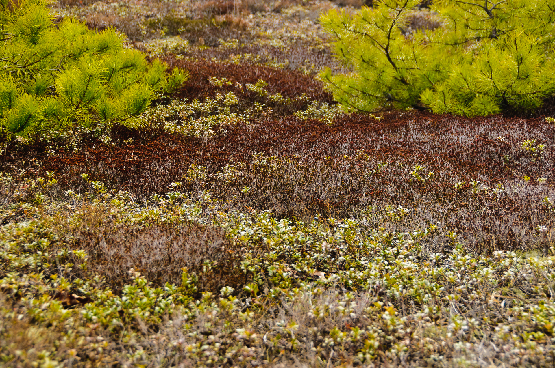 broom-crowberry-7735