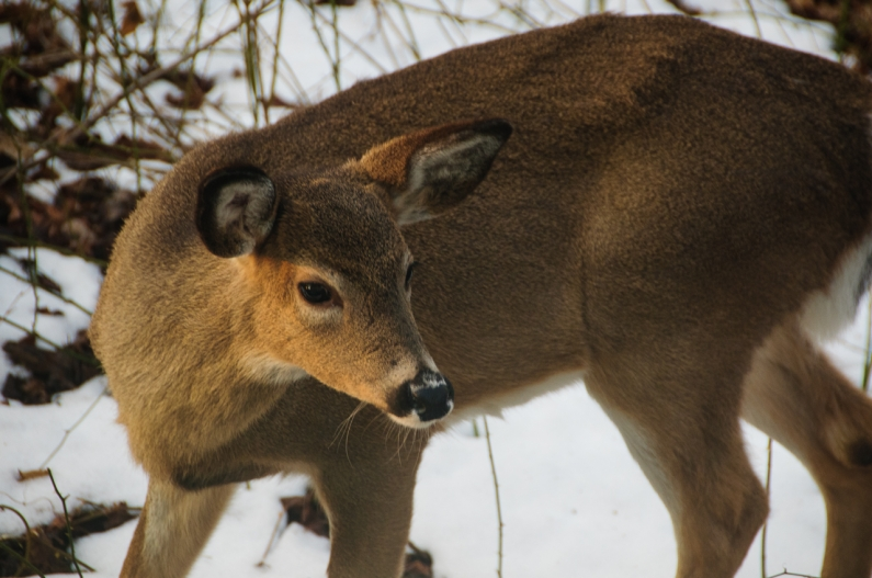 deer-6406