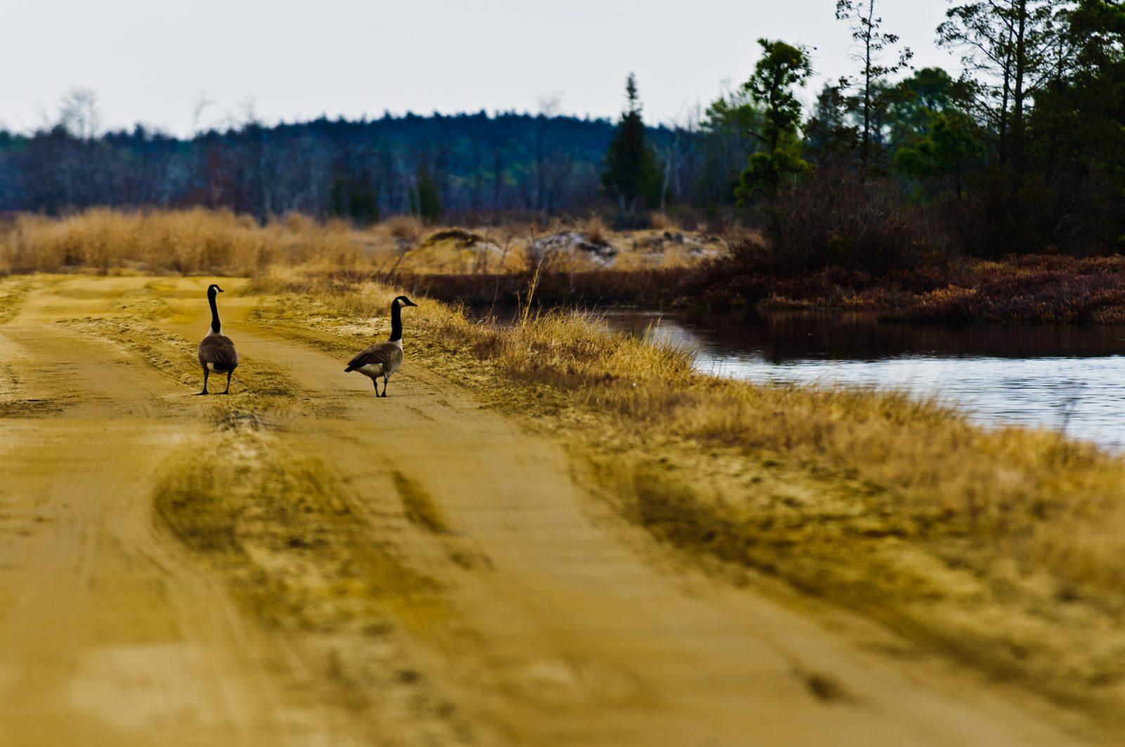 goose-walk-6966