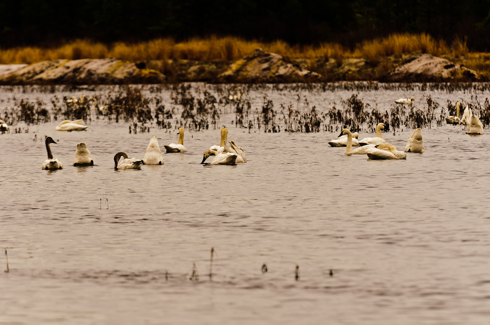 swans-6948