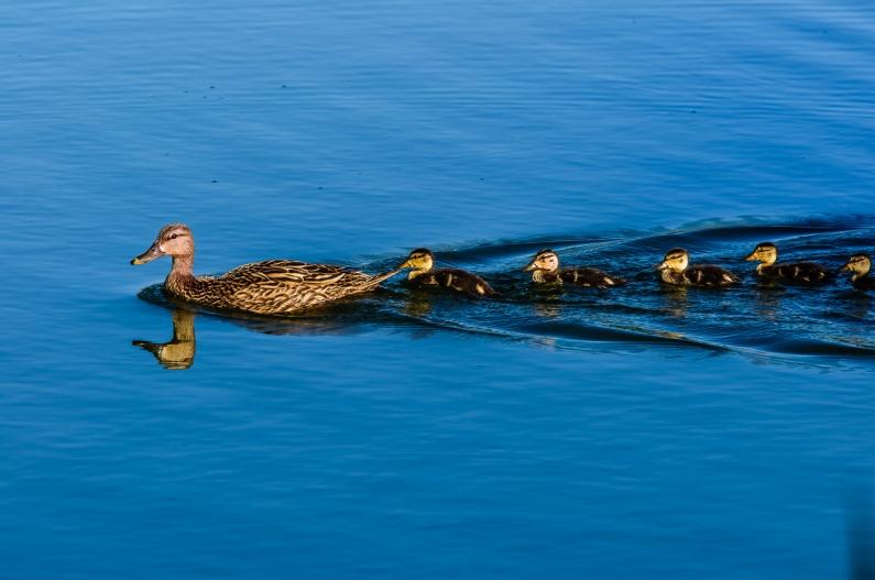 ducks-in-row-97