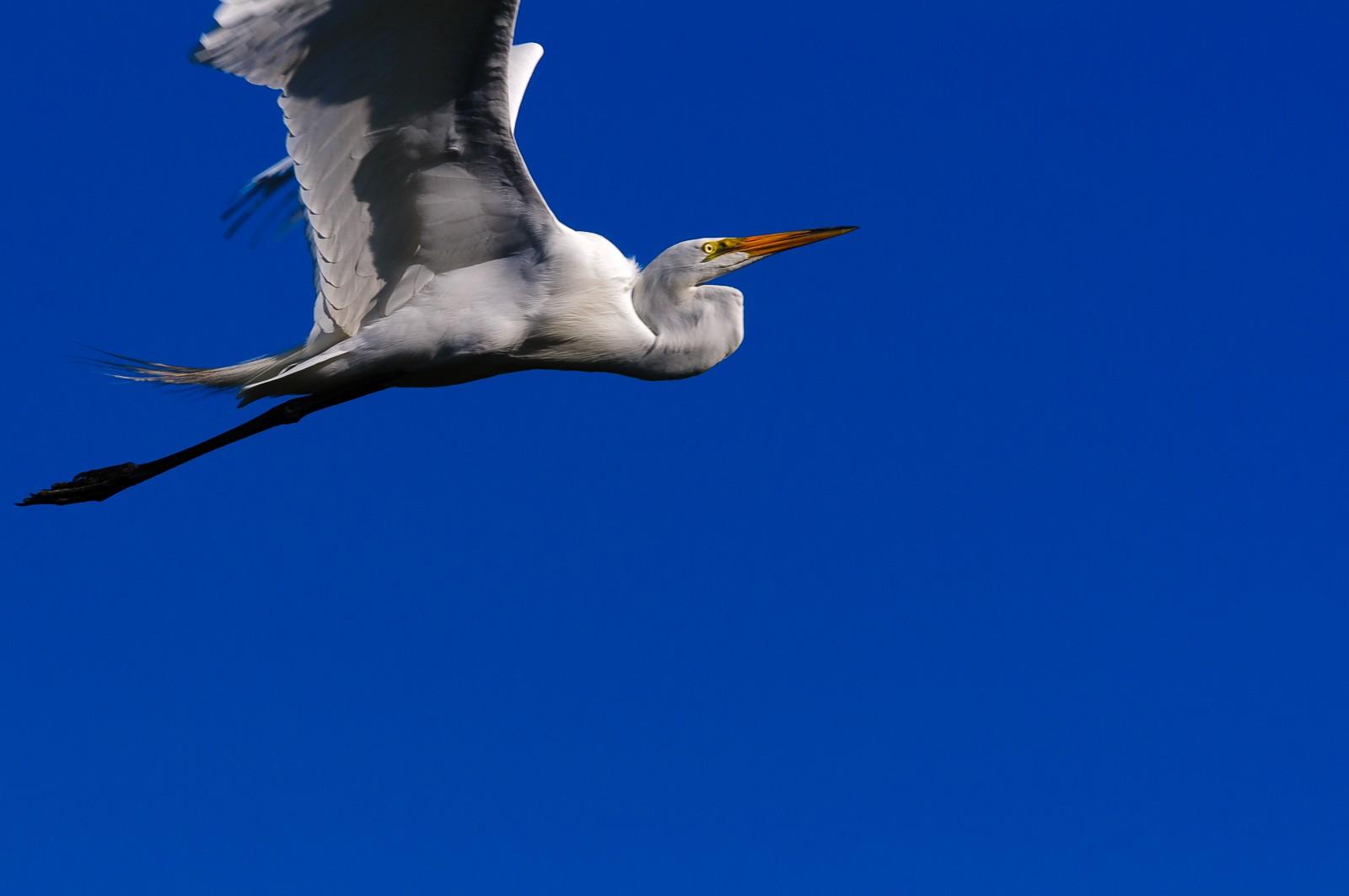 white-heron-119