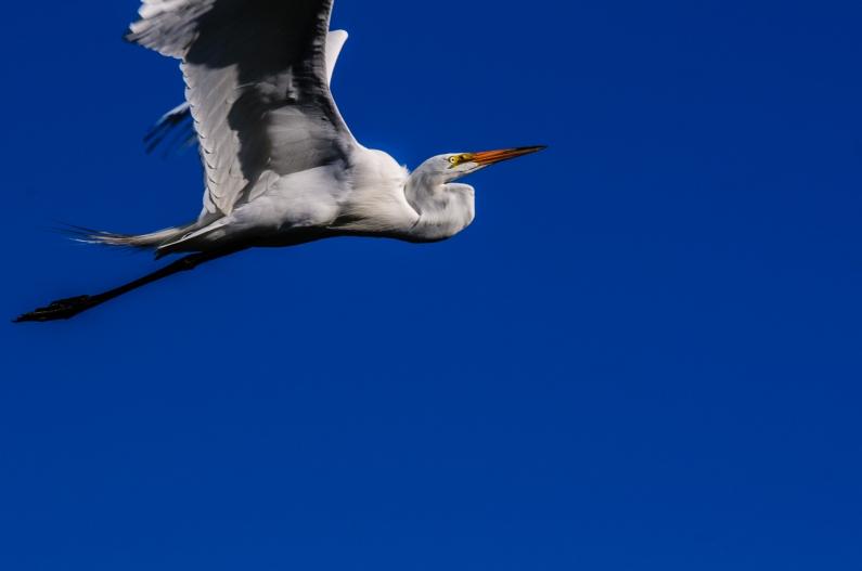 white-heron-bird-119