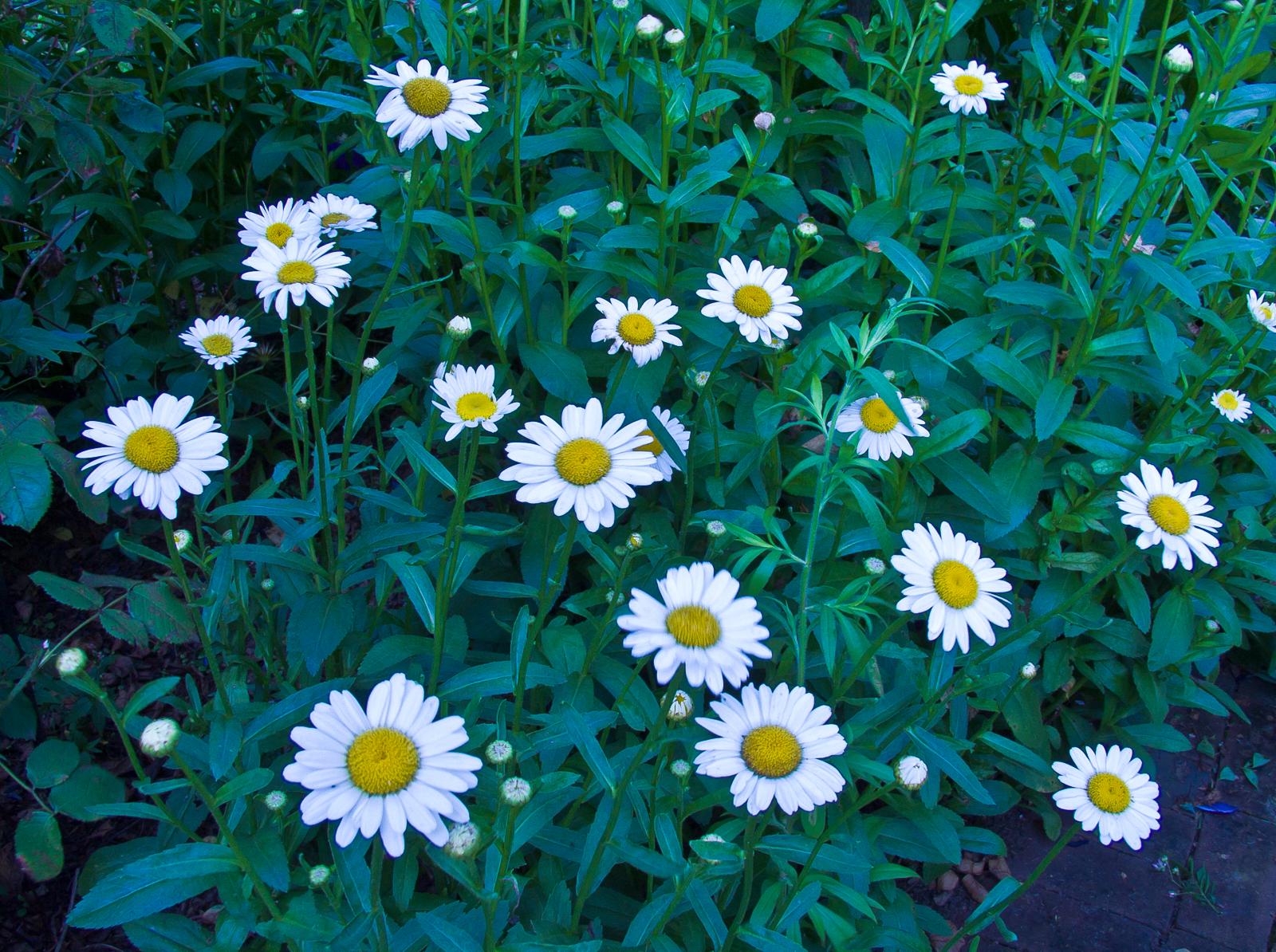 white-daisy-7122558