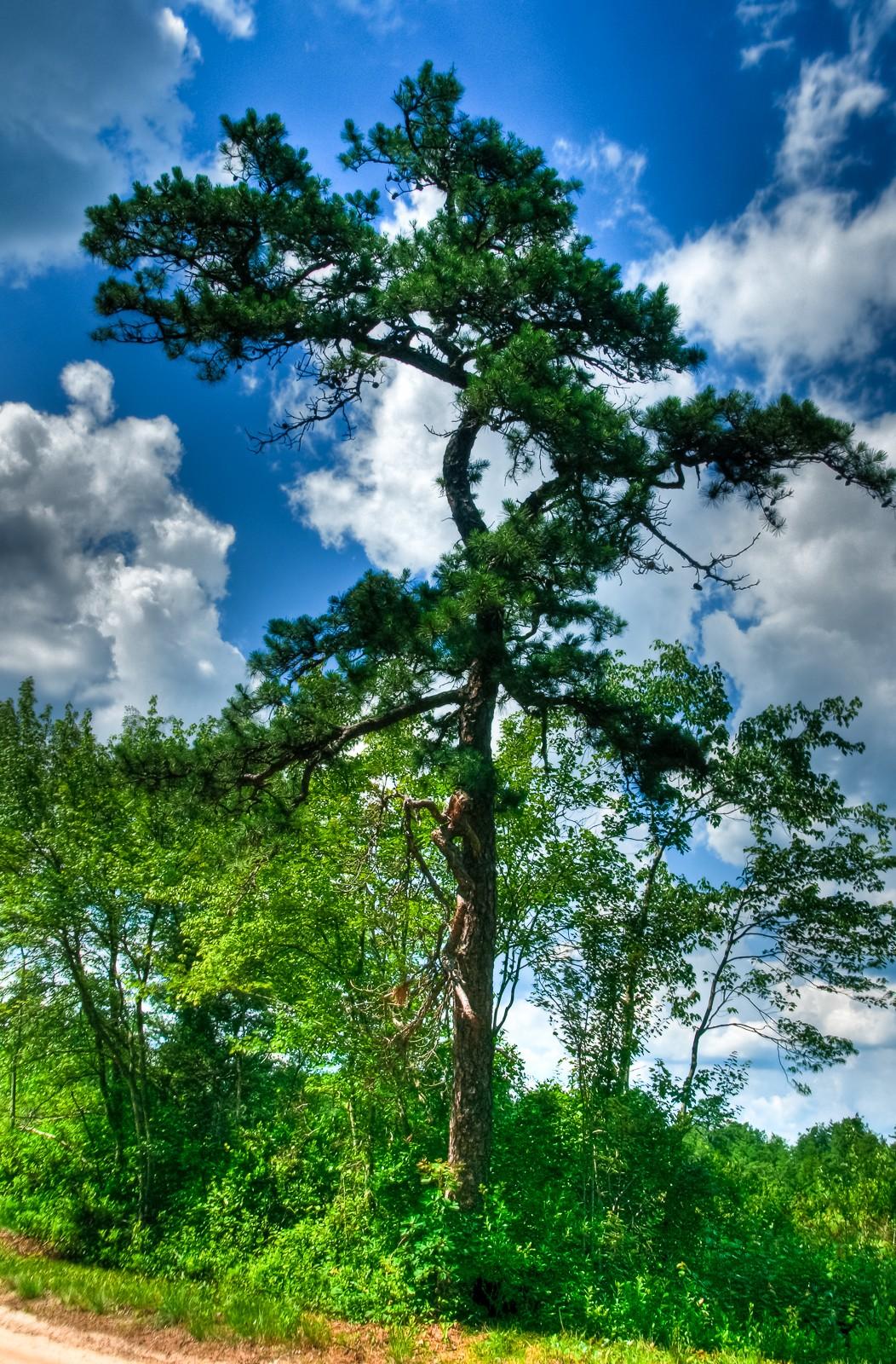 whitesbog-pine-tree-1