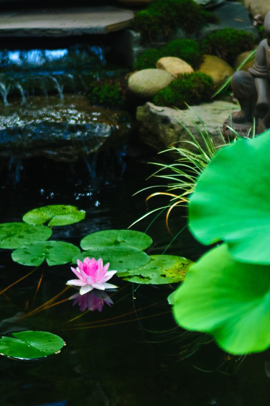zen-water-lily-1427