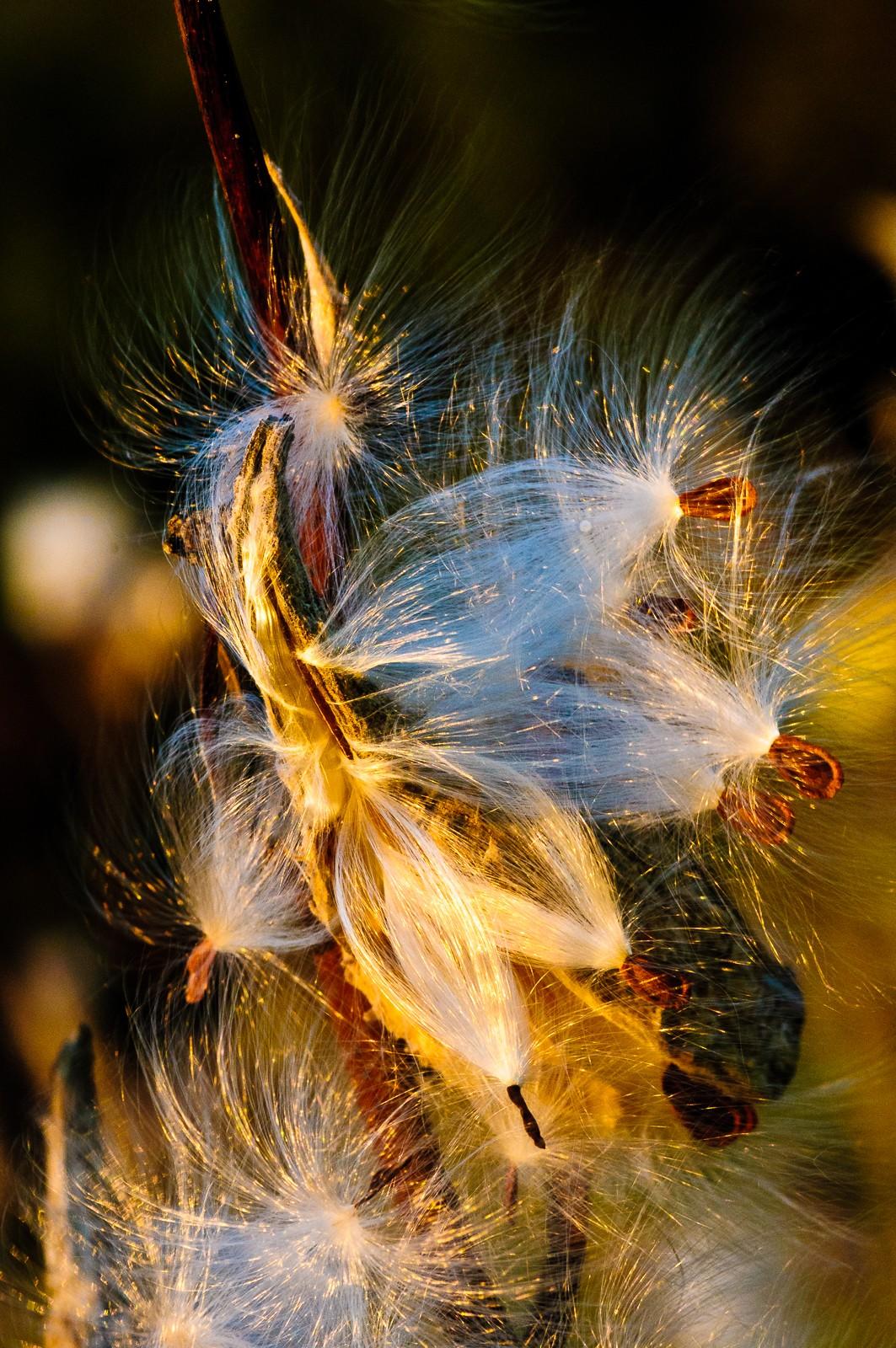 milk-weeds-084