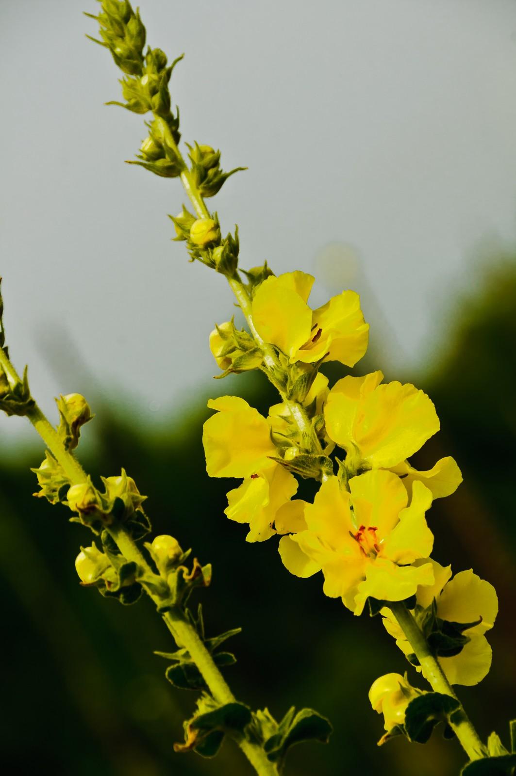 yellow-flower-0955