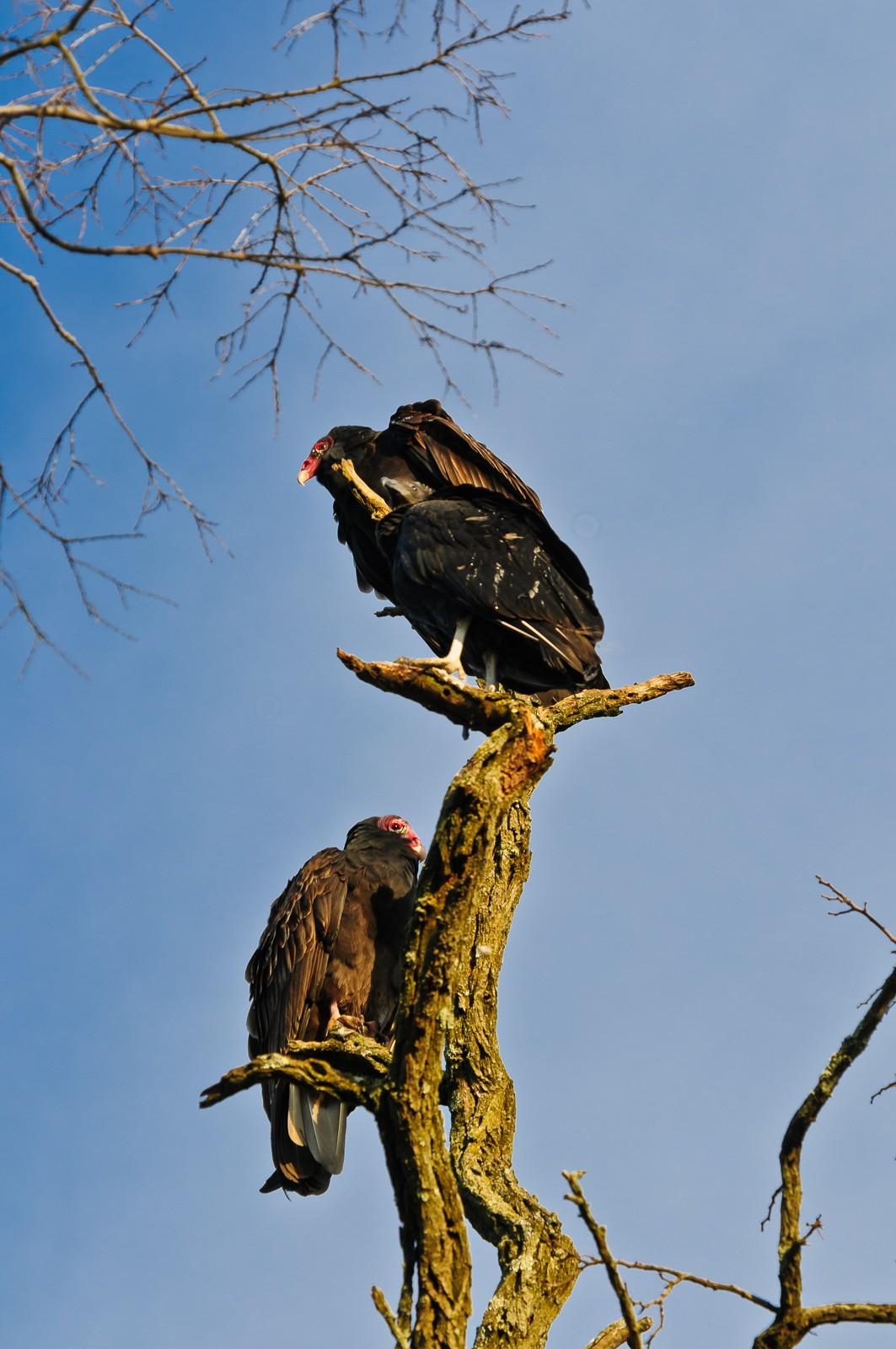 buzzards-2958