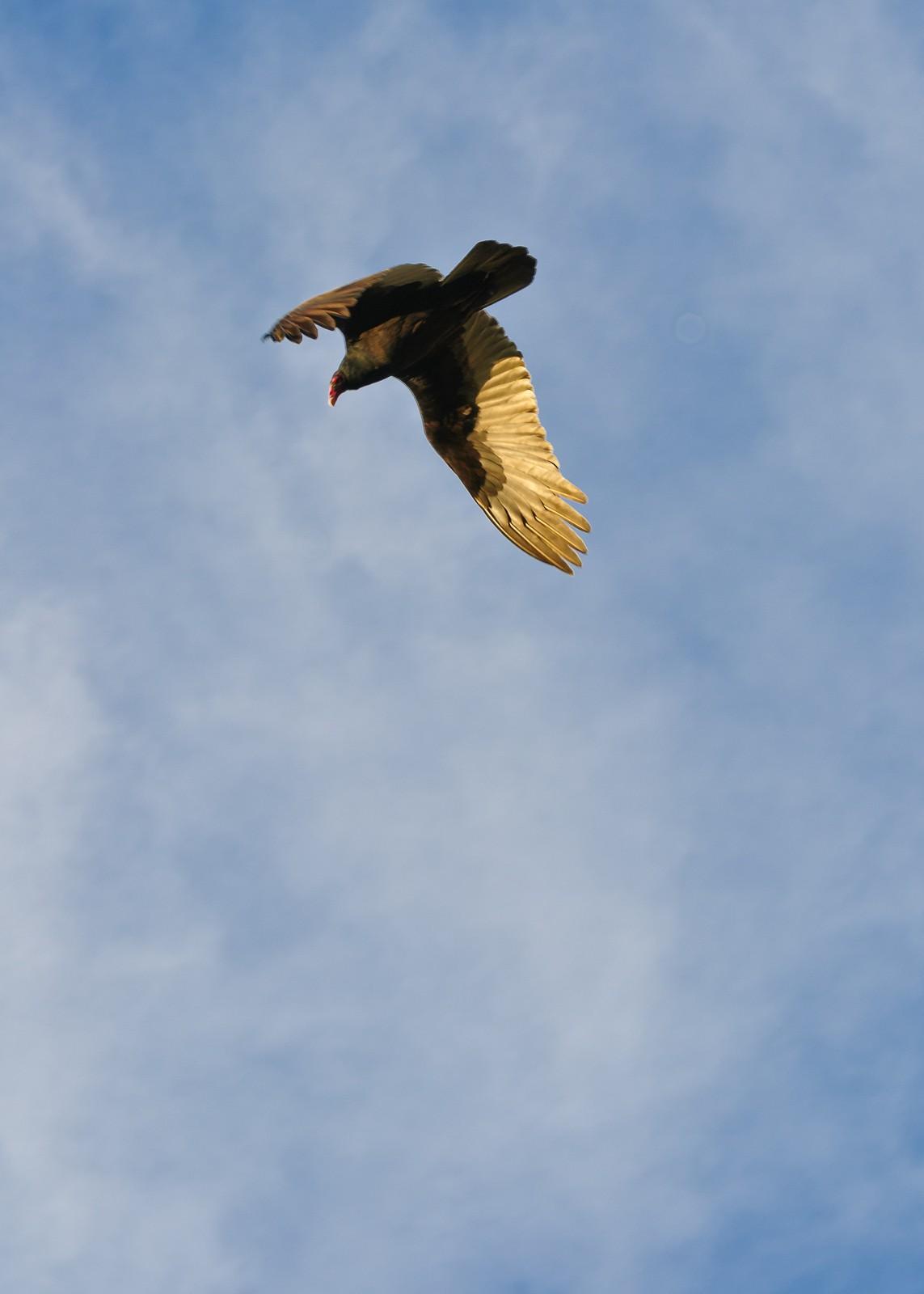 buzzards-2969