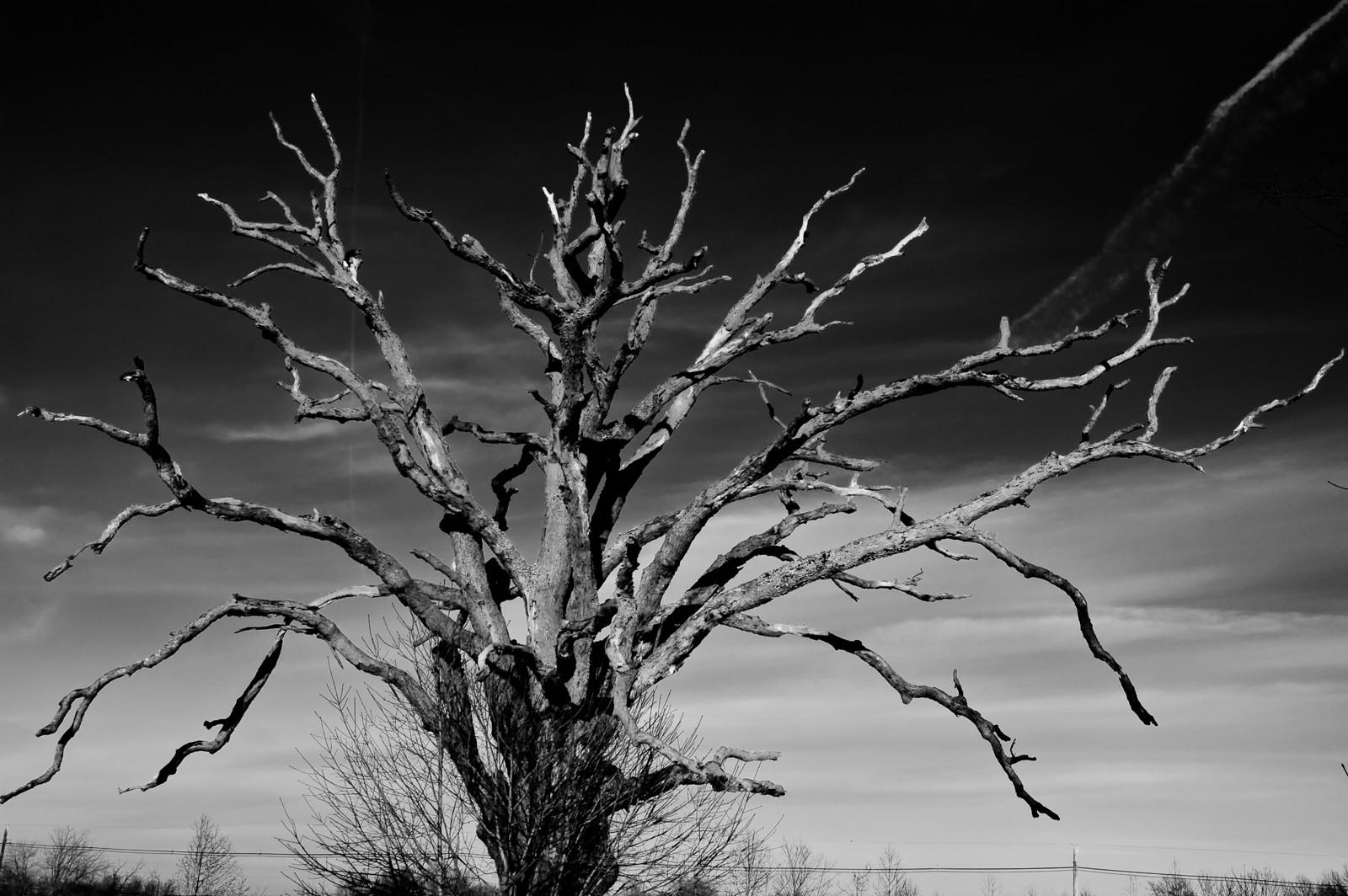 dead-tree-medford-