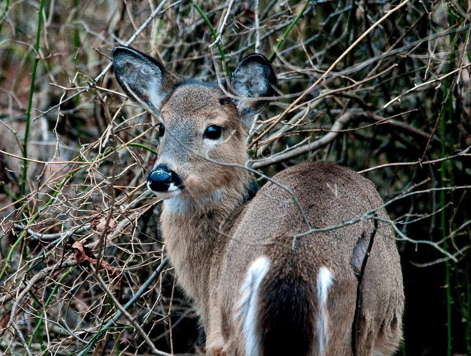 baby-deer-