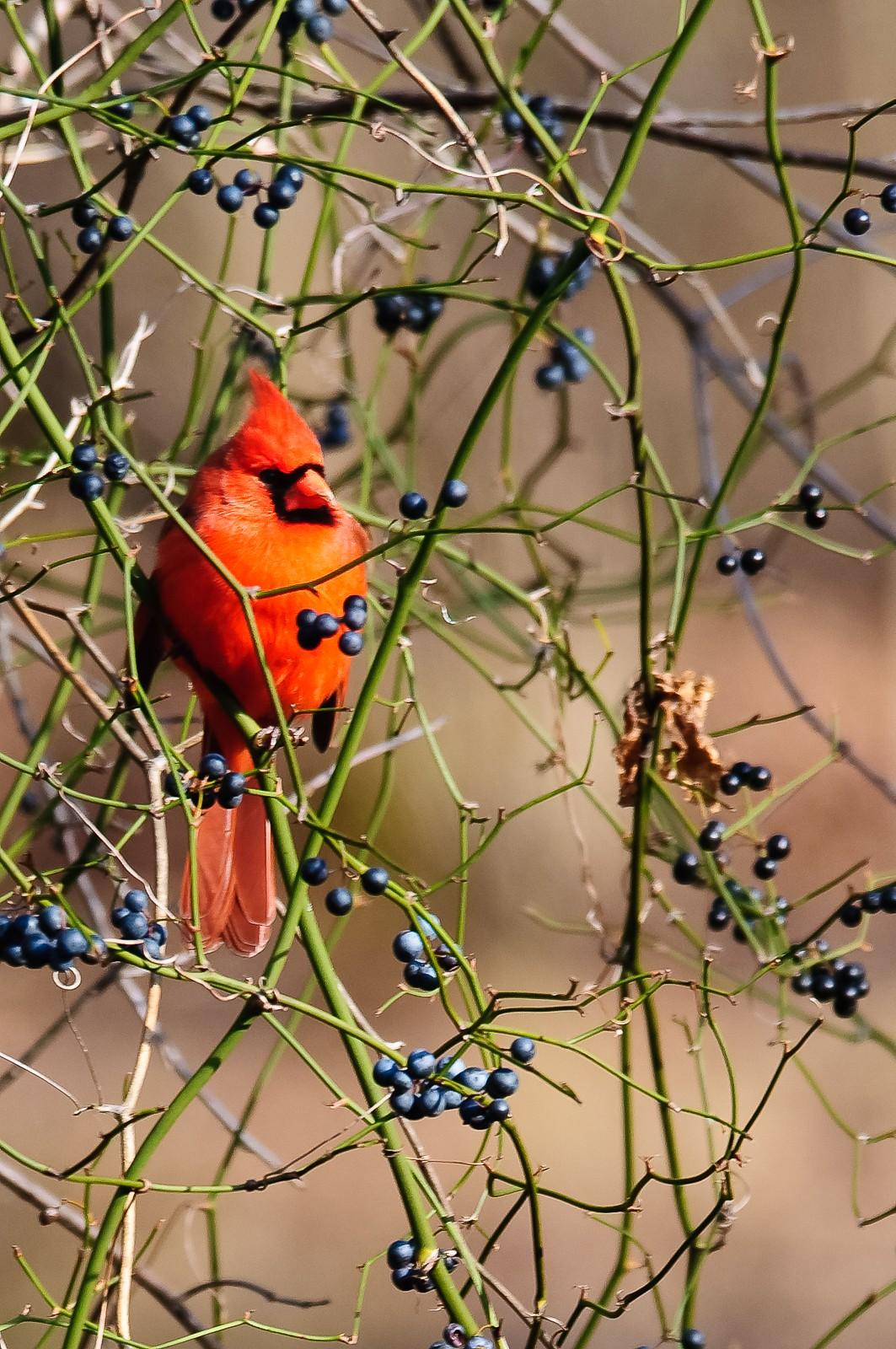 bird-cardinal-1