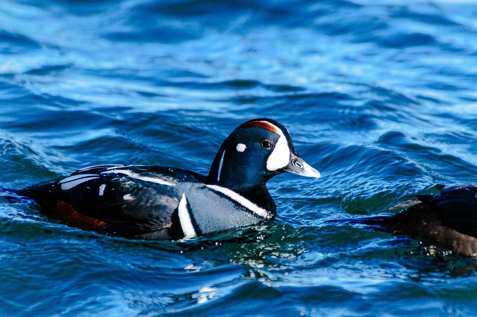 harlequin-ducks-4552