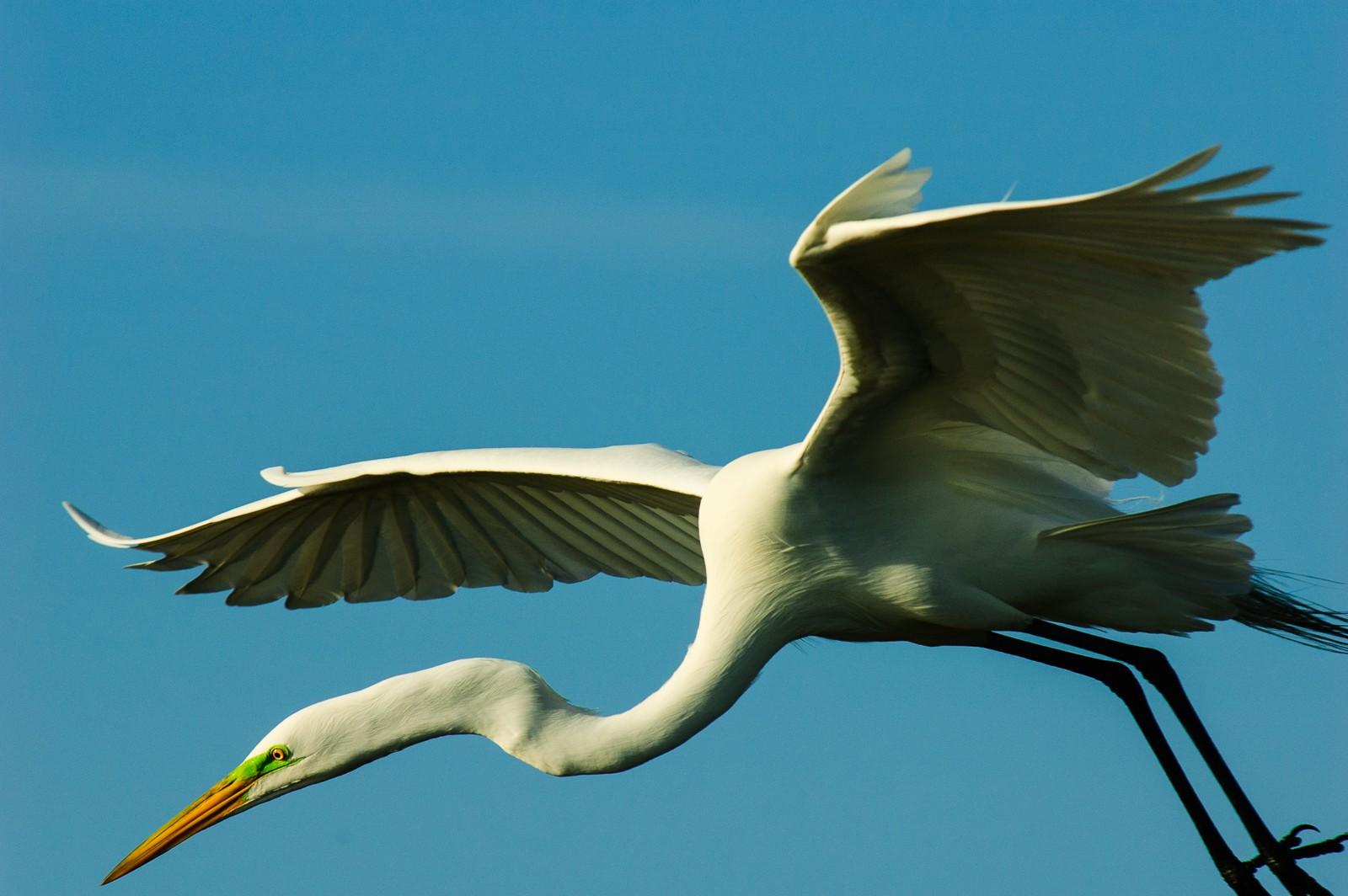 white-heron-0193