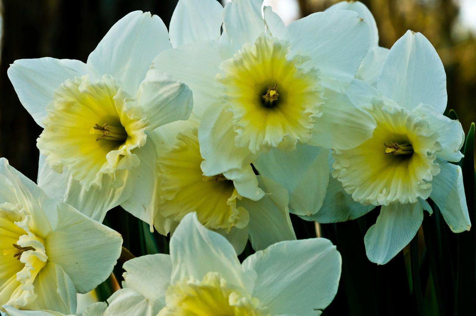 daffodils-6807