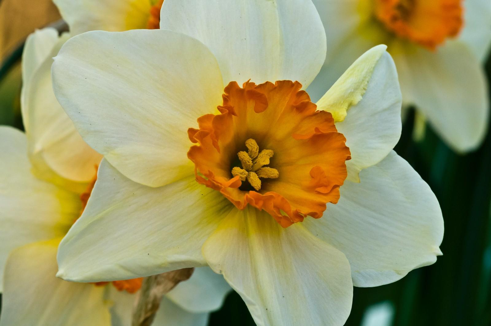 daffodils-6809