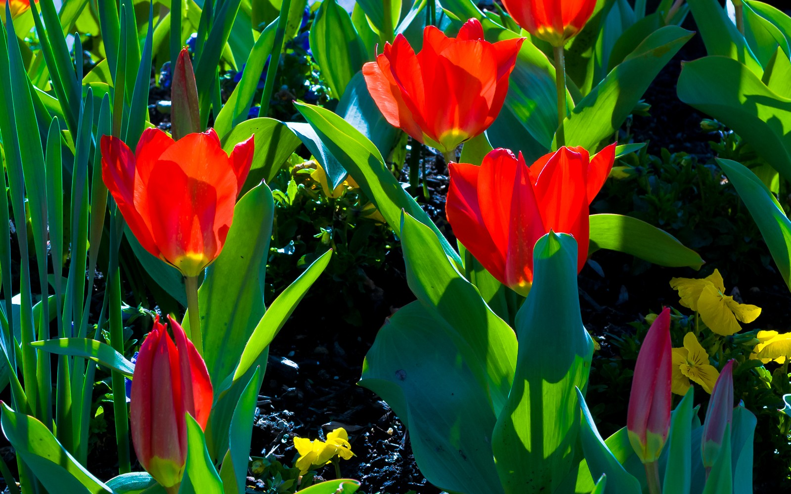 red-tulips-6839