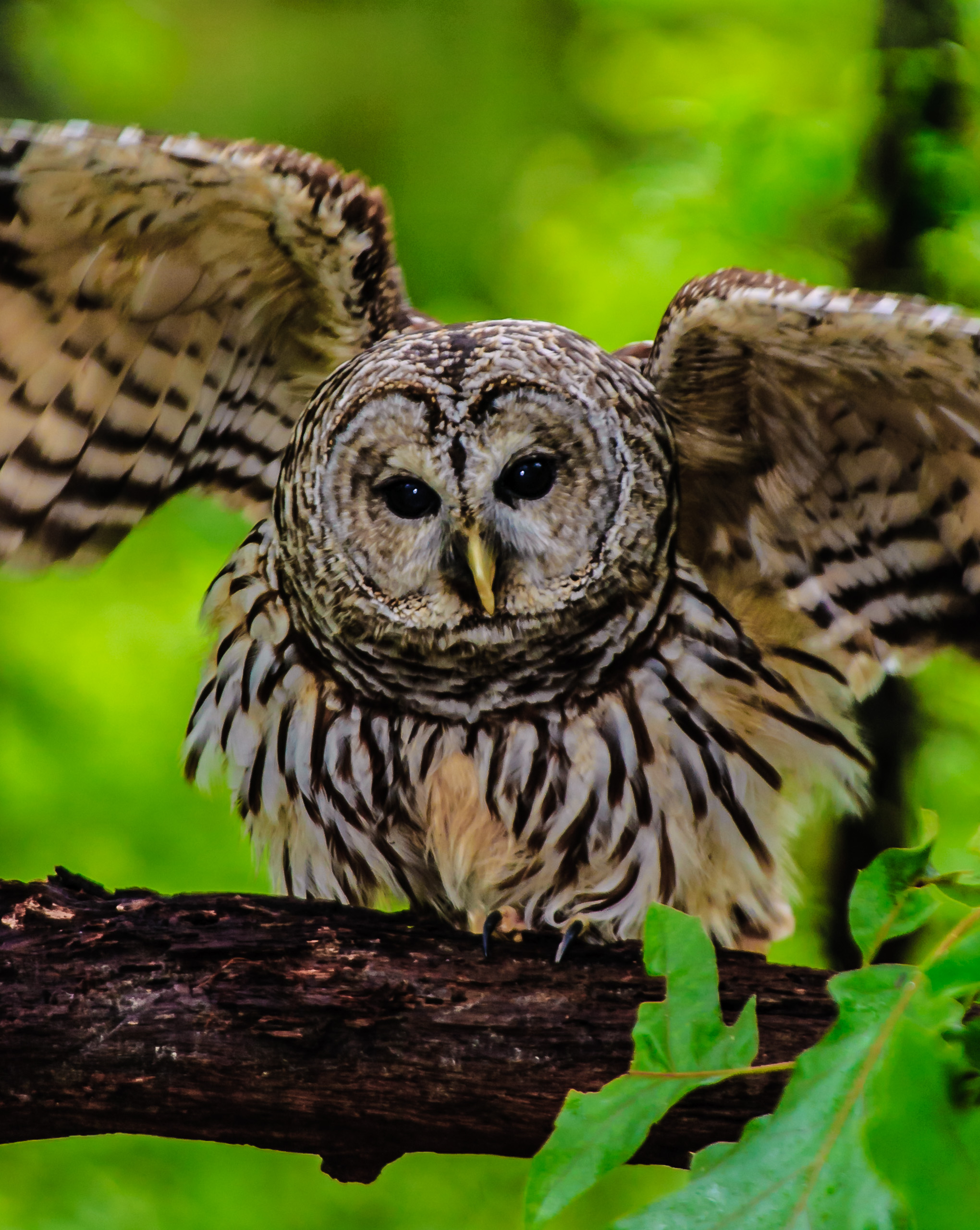 Photo of a barred owl bird 0159
