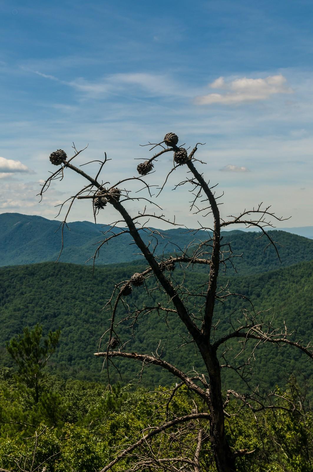 dead-pine-tree-0872