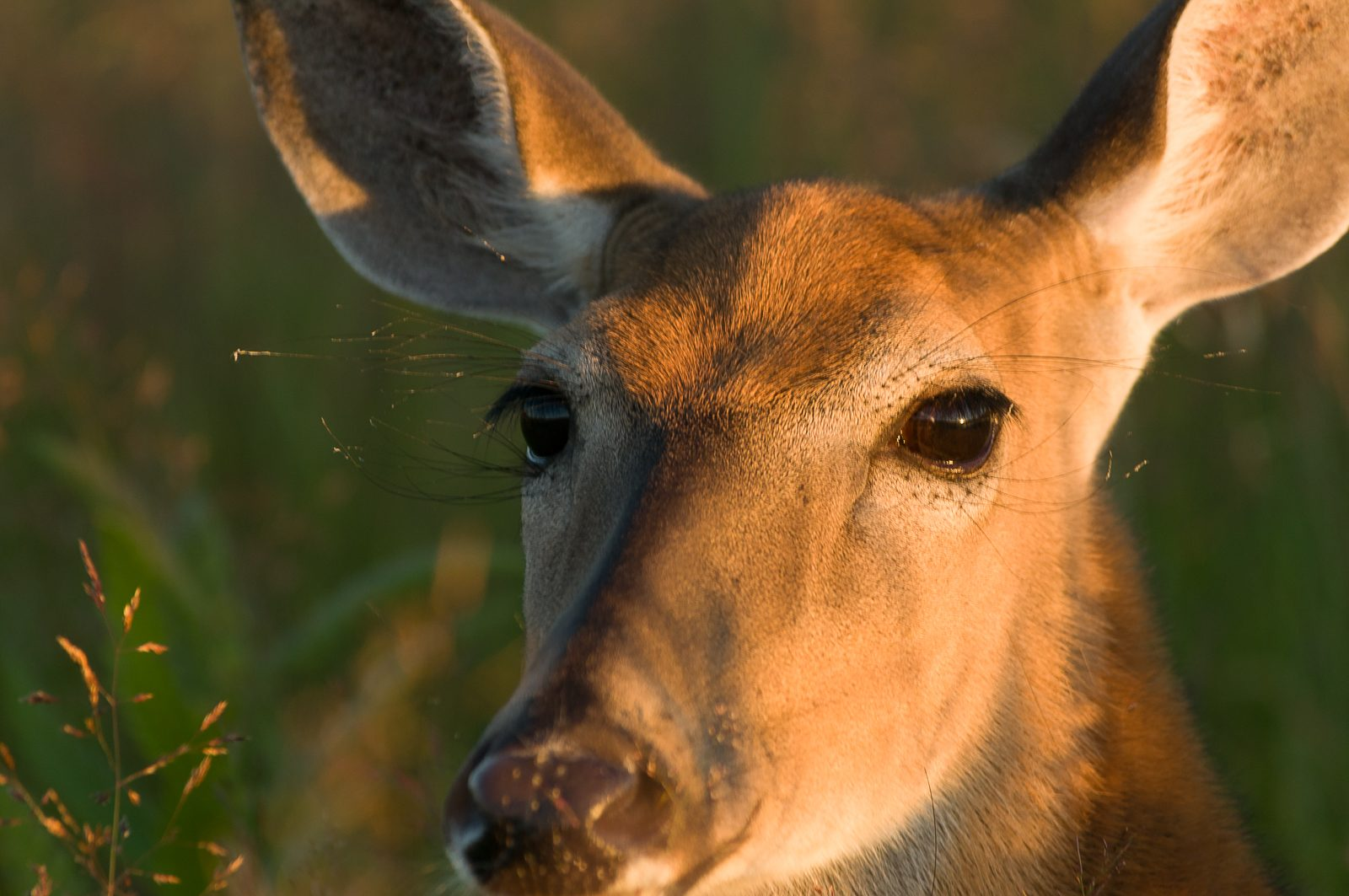 deer-head-shot-0786