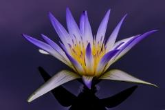 egyptian-lotus-0145