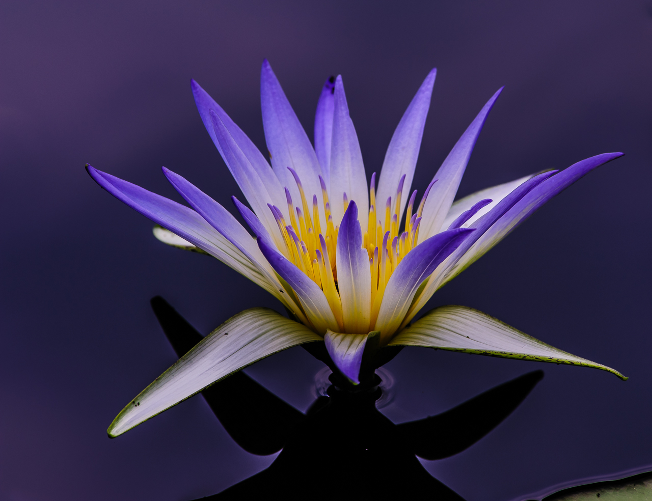Blue Lotus Flower Meaning