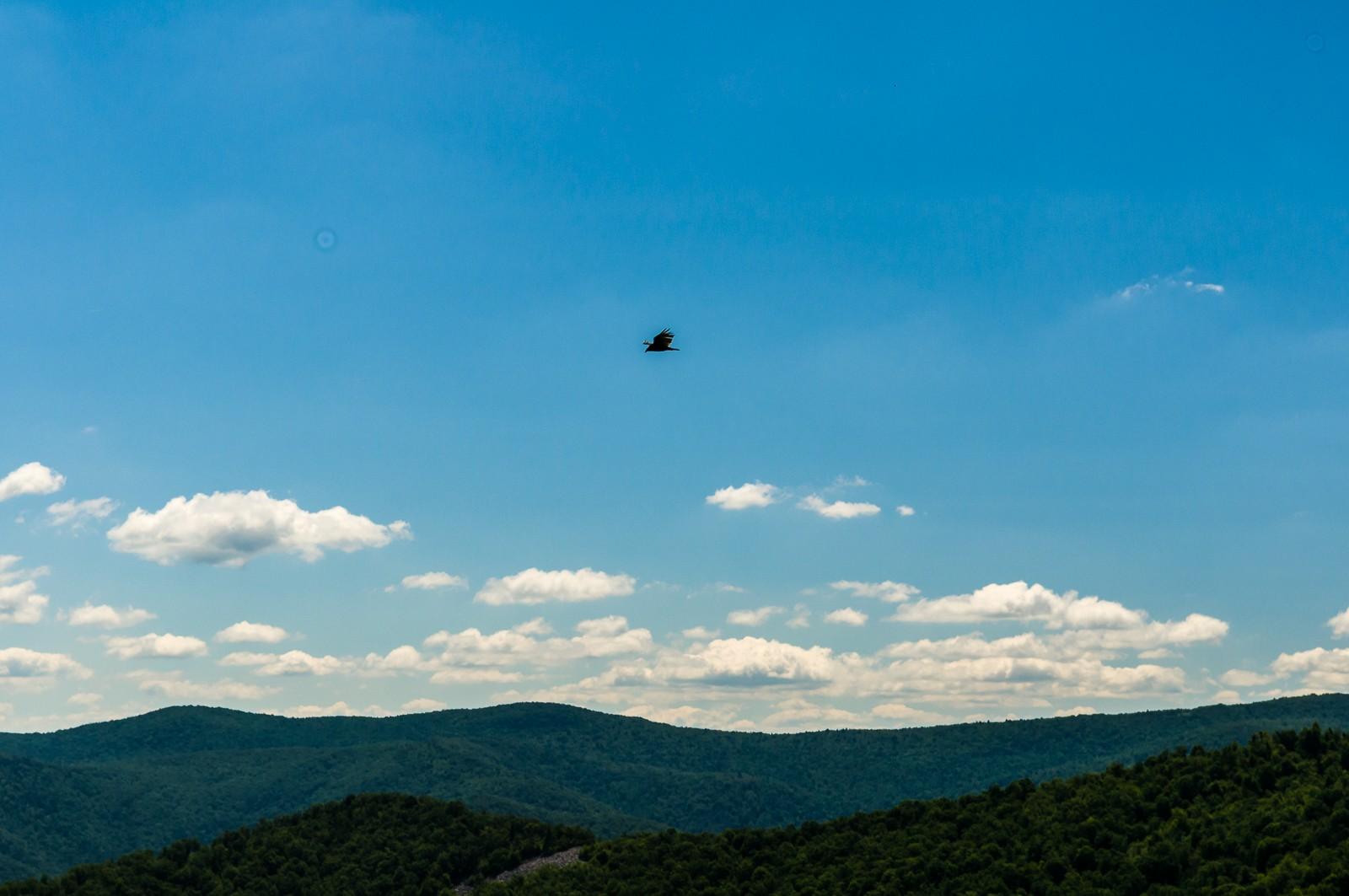 mountain-buzzard-0864
