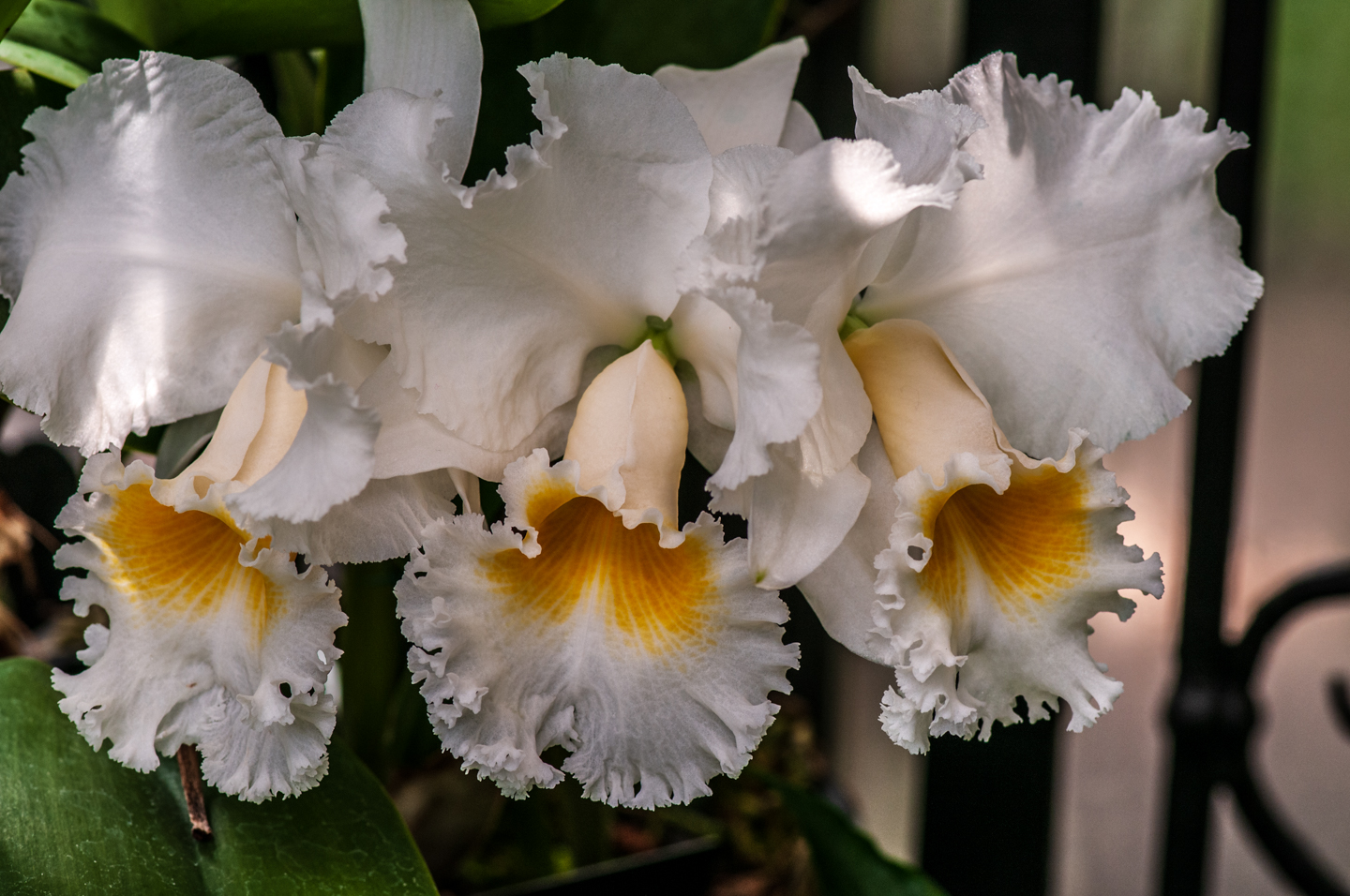 white orchids photograph