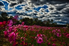 pink-flowers-