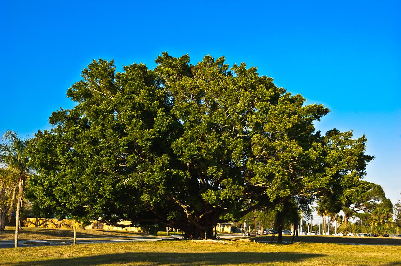 Bodhi-tree-2006-03-20_0004