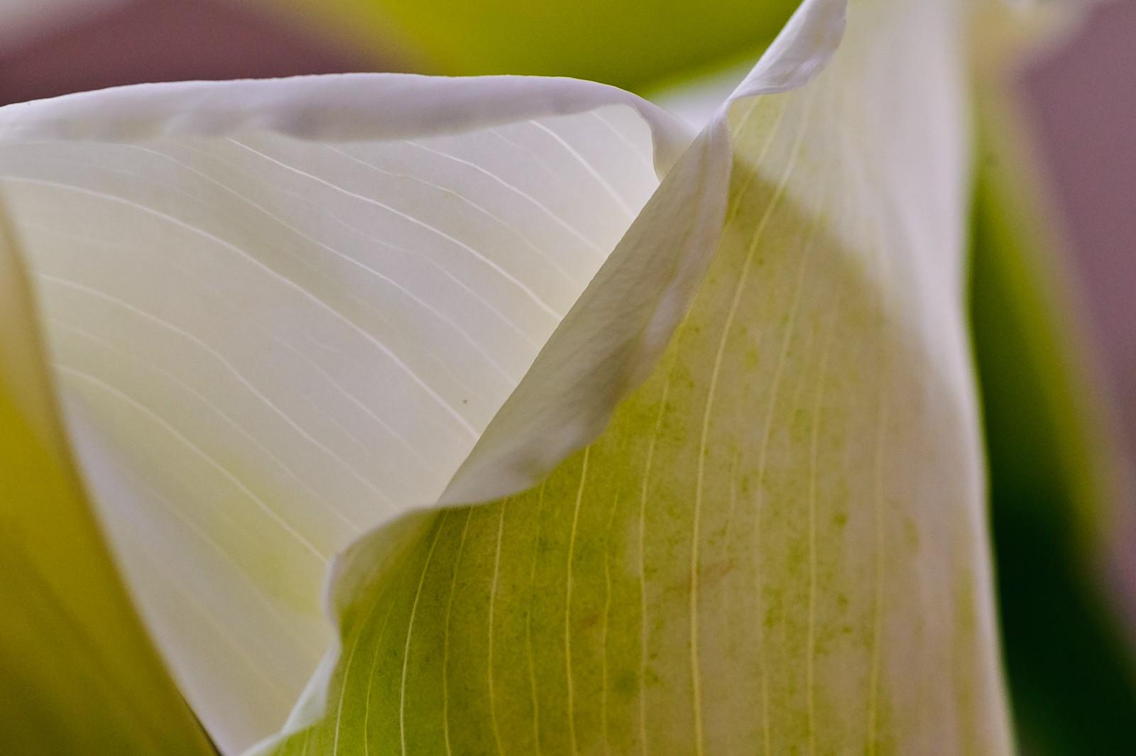 calla-lilies-2