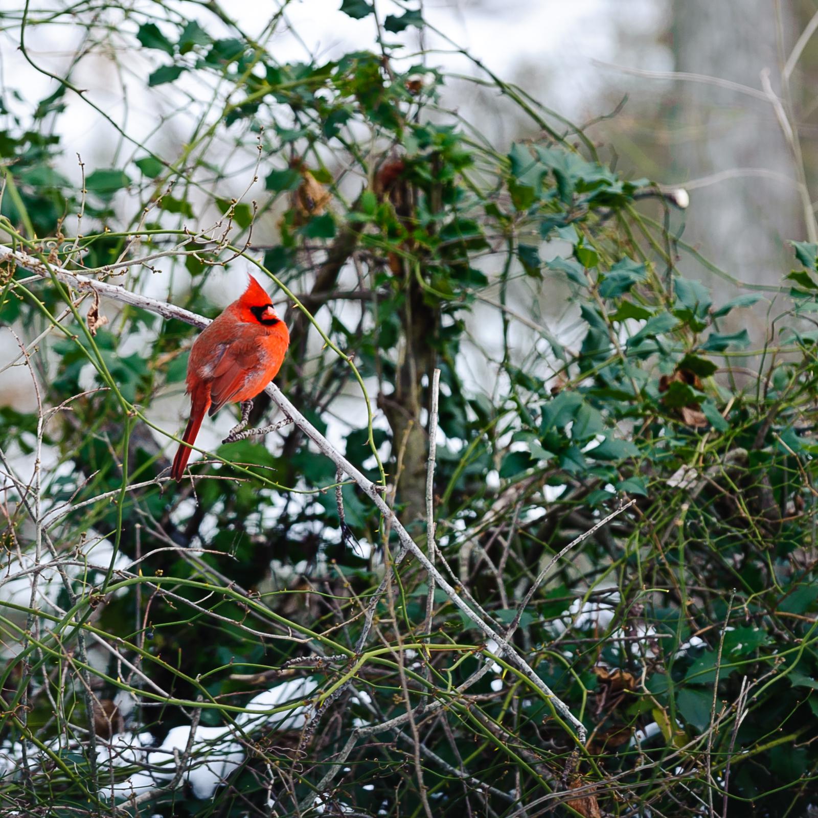 cardinal-7441